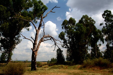Dry dead tree in the veld photo