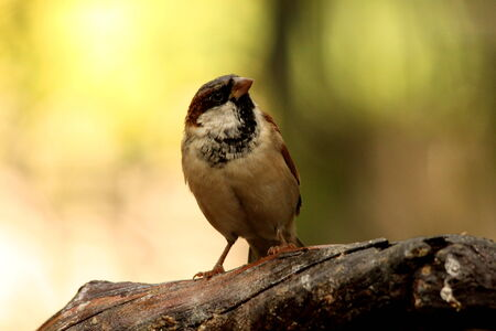 passer    by: House Sparrow - Passer Domesticus - male