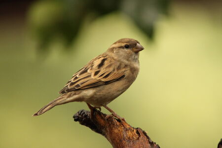passer by: House Sparrow - Passer Domesticus - female