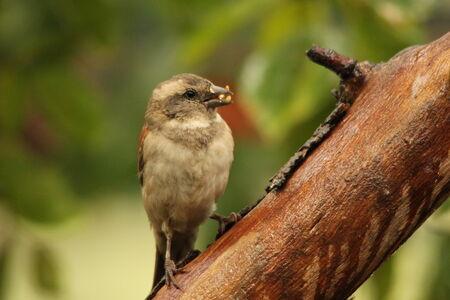 passer    by: Cape Sparrow - Passer Melanurus - female eating seed