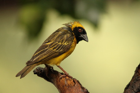 bedraggled: A wet Southern Masked-weaver male - Ploceus Velatus Stock Photo