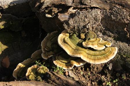 Bracket fungus reclaiming wood Stock Photo - 27501908