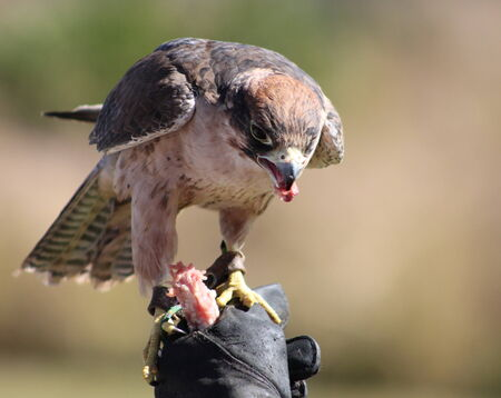 Lanner falcon receiving its reward from the falconeer