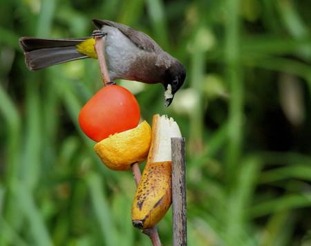 voracious: Bird with a beak full of fruit - over indulging