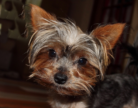 Cute little puppy with bright eyes and a wet nose photo