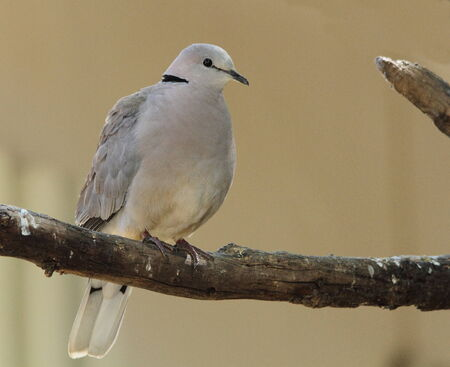 turtle dove: Dove - the sign of peace