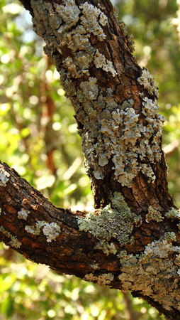 symbiotic: Lichen - small plants formed by the symbiotic association of a fungus and an alga