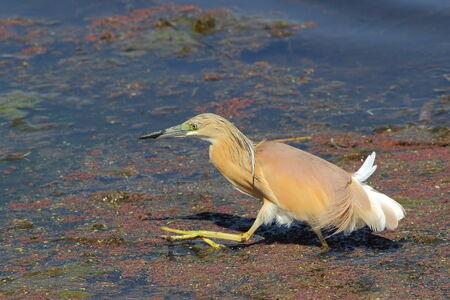 prey: Squacco heron stalk prey in the shadows Stock Photo
