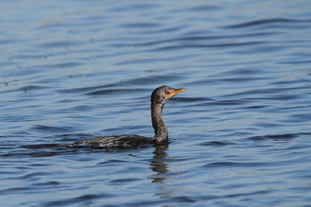 Reed Cormorant hunting for food in fresh water photo