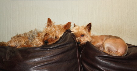 house trained: Two small dogs lie on the arm of a brown couch