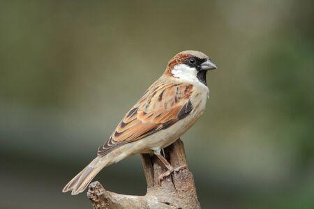 passerine: Vita Bird - House Sparrow, un piccolo passeriforme appollaiato su un ramo Archivio Fotografico