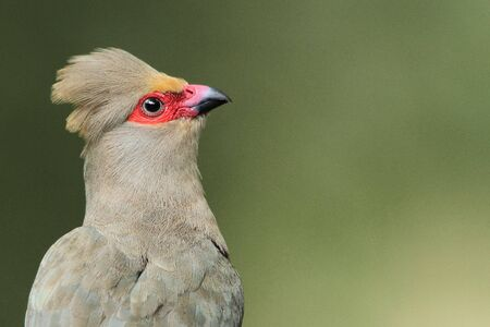 reddening: Bird life - Portrait of a Red-faced Mousebird
