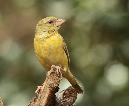 the sentinel: Bird life - a weaver perched on a branch as a lookout