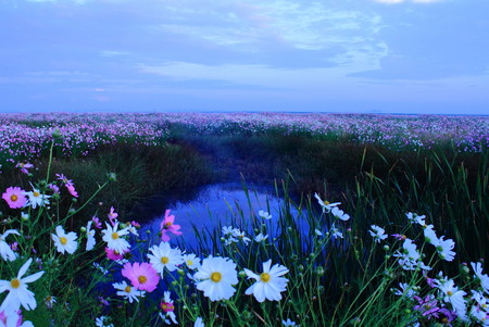 Cosmos - fields of brightly coloured flowers photo