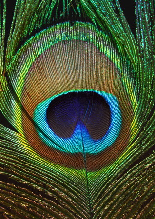vigorously: Vivid and colourful feathers of a peacock Stock Photo