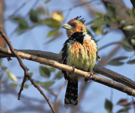 gauteng: Colourful fluffy bird with large bill