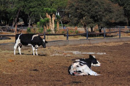 outpost: Two black and white cows in a kraal