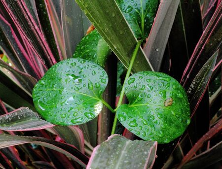 revive: Two round green leaves covered in water drops Stock Photo