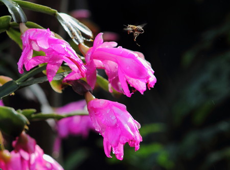 industrious: Bee hovering above pink flower