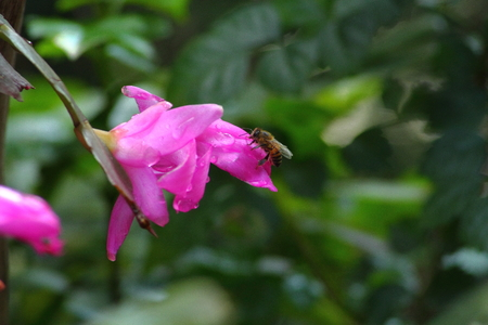 industrious: Bee drinking water from droplet on pink flower