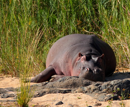 gregarious: Hippopotamus basking in the sun in a river bed