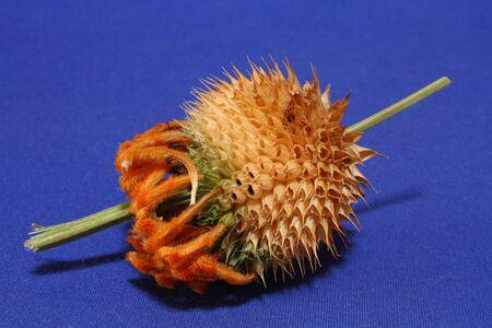 ovule: Wild dagga Leonatis leonurus seed pod Stock Photo