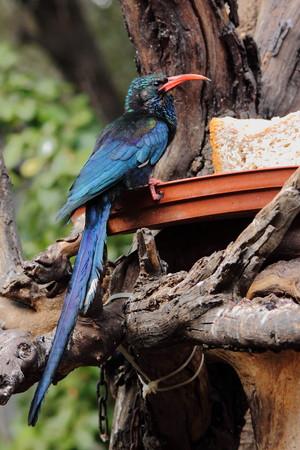 gregarious: Green Wood-Hoopoe on birdfeeder