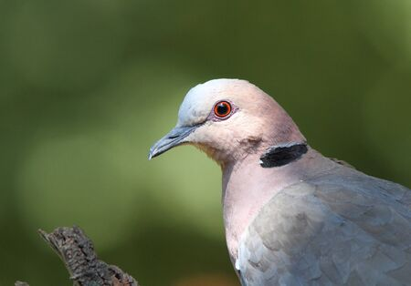 birding: A dove with a red eye-ring