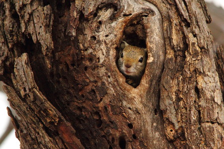 animal den: A squirrel peeps from a hole in a tree in the forest