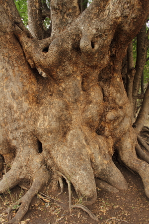 Human shape in tree trunk Stock Photo