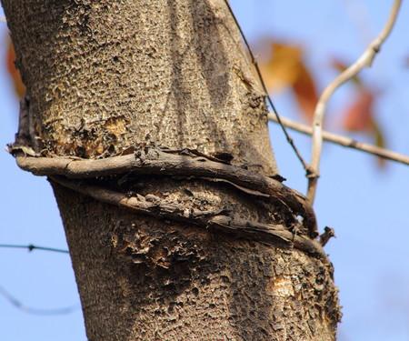 choke: Creeper plant strangles the tree it grows on