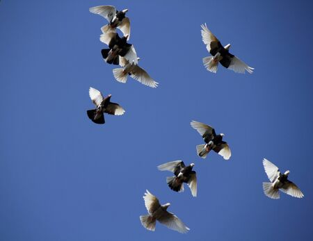 homing: Pigeons fly high in the blue sky