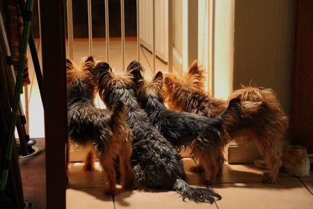 pups: Pups wait at an indoor gate for the return of their owner Stock Photo