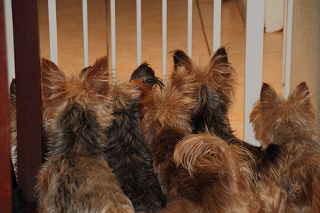 heartwarming: Yorkshire terriers wait at a gate