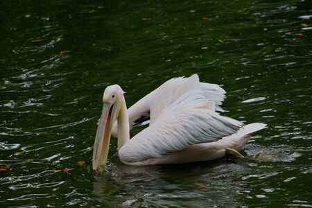 birdlife: A white pelican swims on dark green water