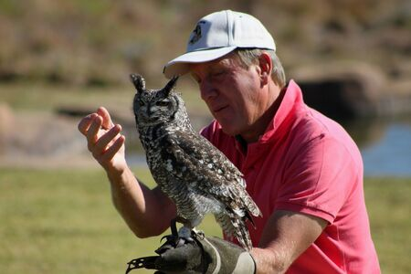 falconry: Falconry - Spotted Eagle-owl Editorial