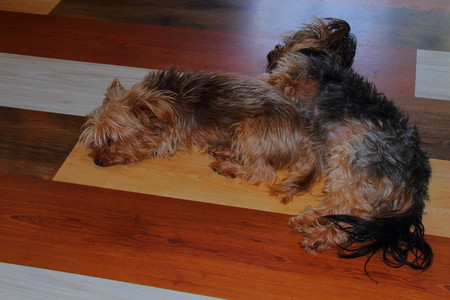 pups: Two pups lie together on a wooden floor Stock Photo