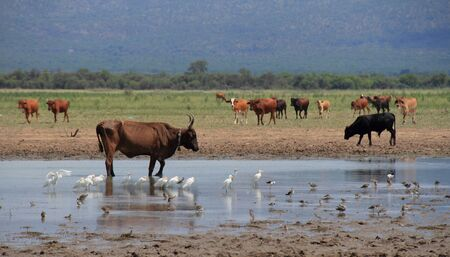 birdlife: Farm dam with cattle and birdlife