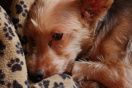 man's best friend: Close-up of small dog sleeping on a dog blanket