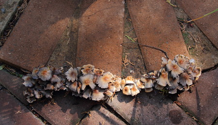 orientated: Mushrooms grow through cracks between paving stones Stock Photo