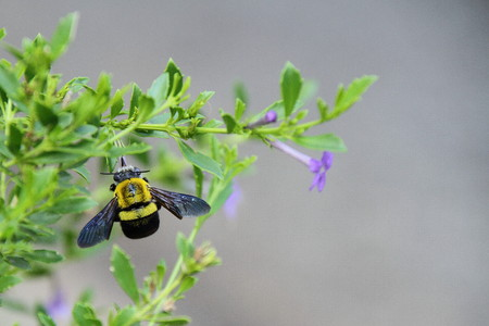 industrious: A yellow and black bee on a plant with a purple flower