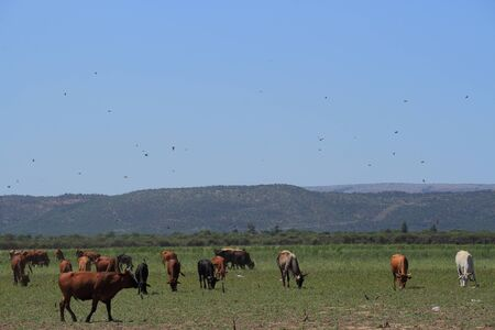 disturbed: Swallows and swifts hunt insects disturbed by a herd of cattle Stock Photo