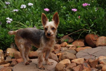 stepping stone: A small dog with bright eyes stand on a stepping stone in a garden