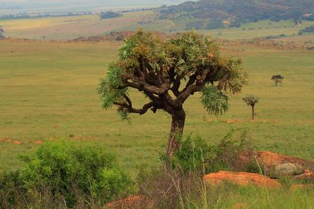 gauteng: Kiepersol trees on southern Gauteng Highveld South Africa Stock Photo