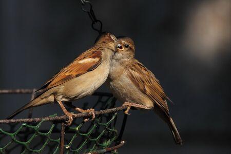 Adult bird feeding juvenile