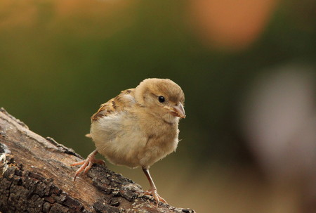 defenseless: Small juvenile bird perched on a log Stock Photo