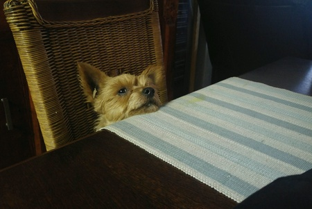 dog waiting: Dog waiting for lunch