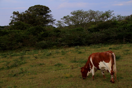 feeds: A brown and white cow feeds in a field