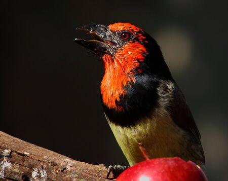 fruit eater: Black-collared Barbet sounding the alarm