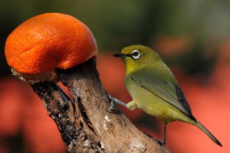 birding: Small green bird with orange fruit Stock Photo